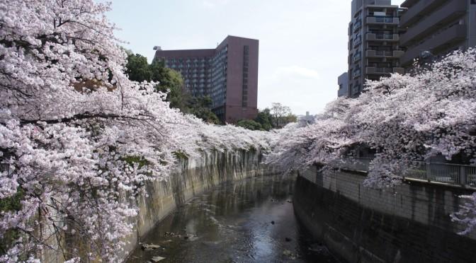 桜 sakura 2014